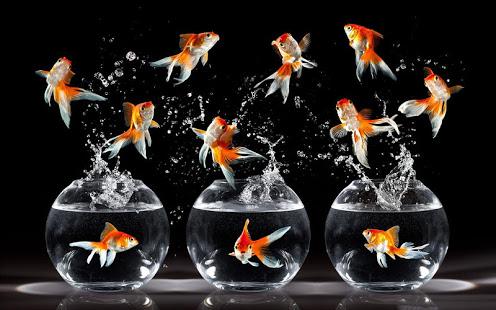 Скачать Живые Обои Золотая Рыбка