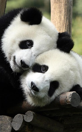 Panda Fond d'Ecran téléchargement gratuit - PandaLWPV